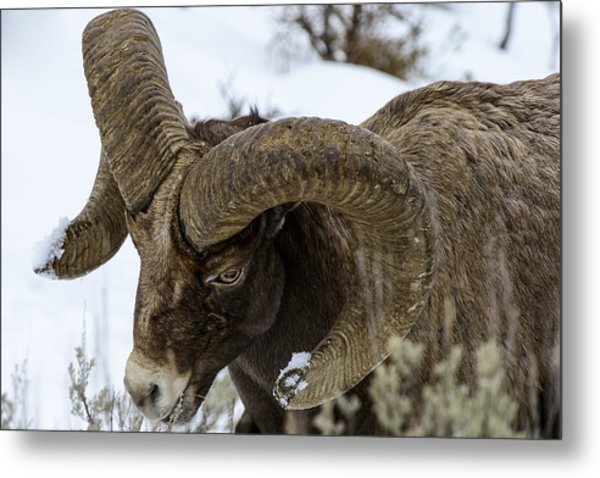 Yellowstone Ram Metal Print by David Yack