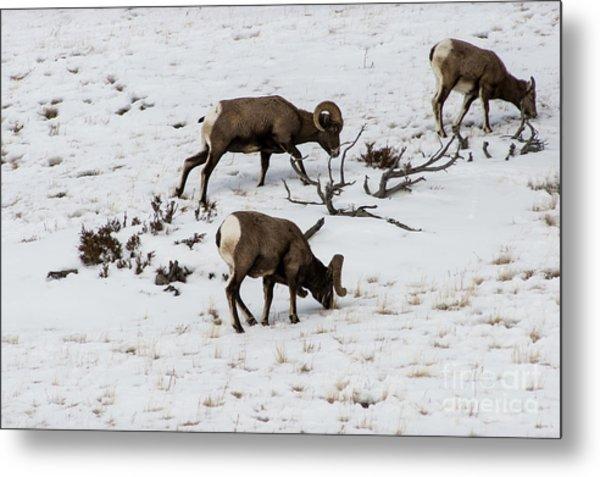 Yellowstone Sheep Metal Print