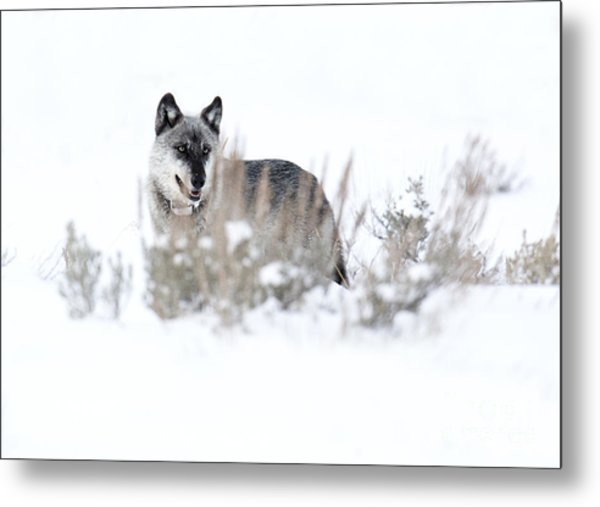 Yellowstone Wolf Metal Print