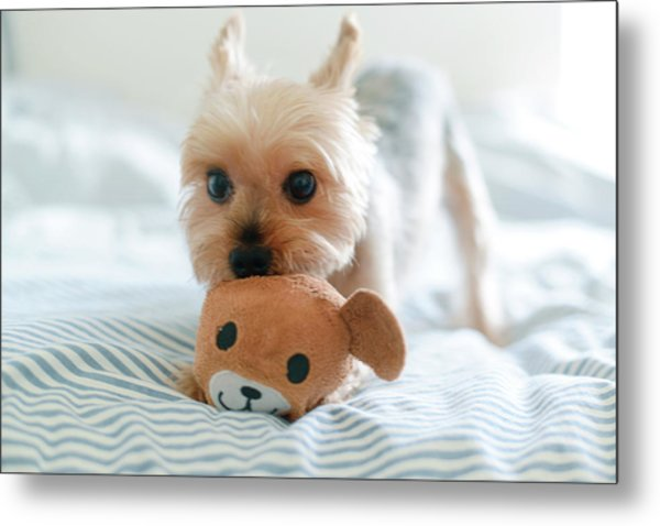Yorkie Playing With Teddy Toy Metal Print by Cheryl Chan