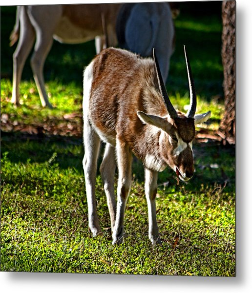 Youngster Addax Metal Print