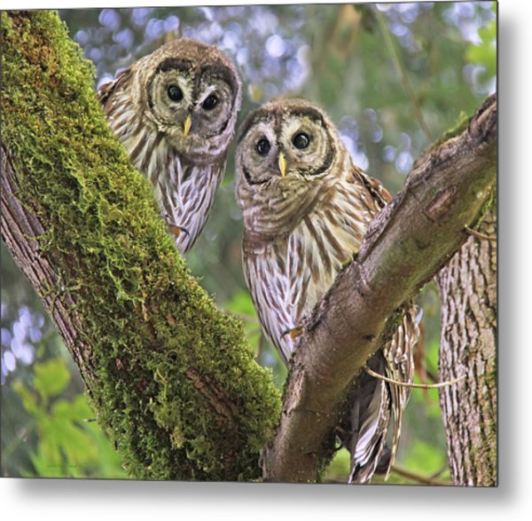 Young Barred Owlets  Metal Print