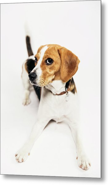 Young Beagle In The Studio Metal Print by Kevin Vandenberghe