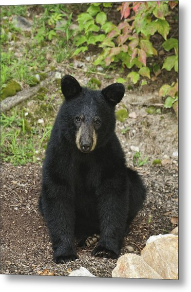 Young Bear 1 Metal Print