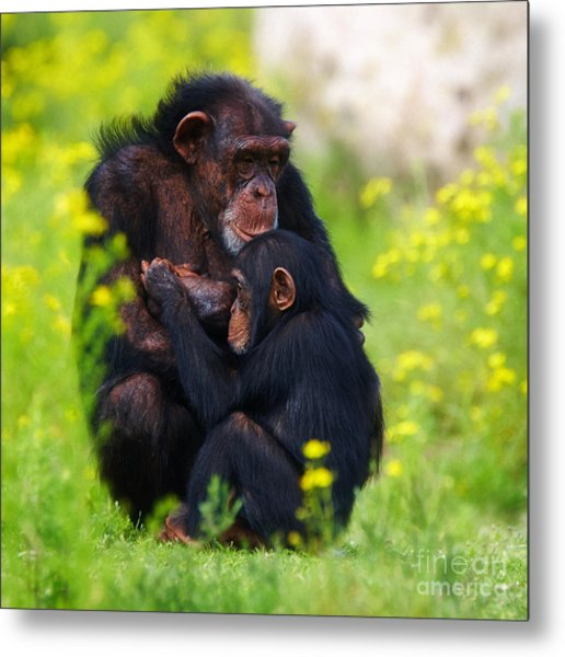 Young Chimpanzee With Adult - II Metal Print