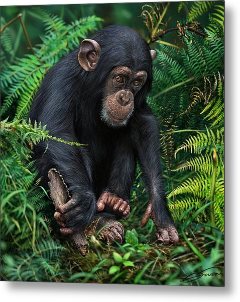 Young Chimpanzee With Tool Metal Print by Owen Bell