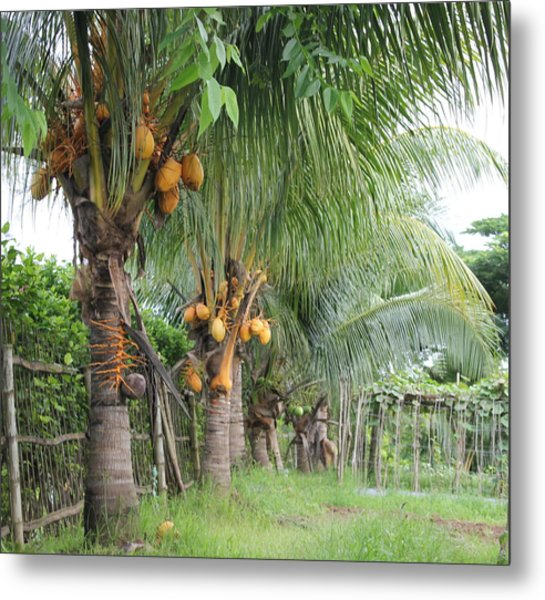 Young Coconut Trees Metal Print