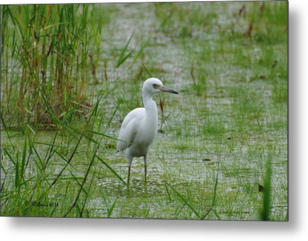 Juvenile Little Blue Heron At Willow Pond Metal Print