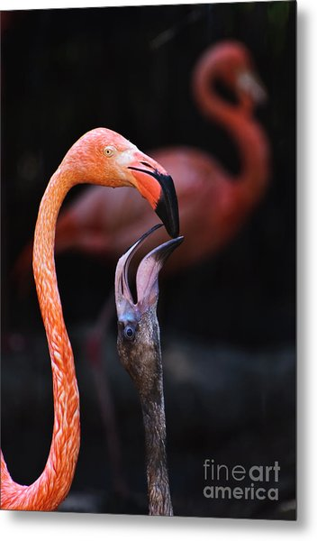Young Flamingo Feeding Metal Print