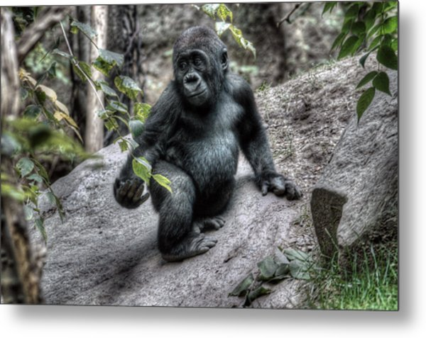 Young Gorilla Metal Print