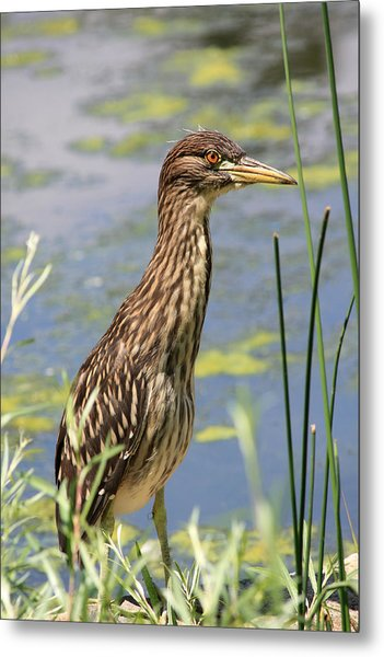 Young Heron Metal Print