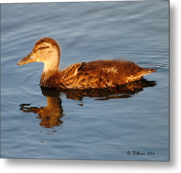 Young Mallard Hen At Ocracoke Metal Print