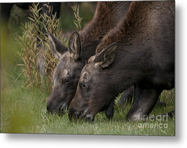 Young Moose Metal Print by Earl Nelson