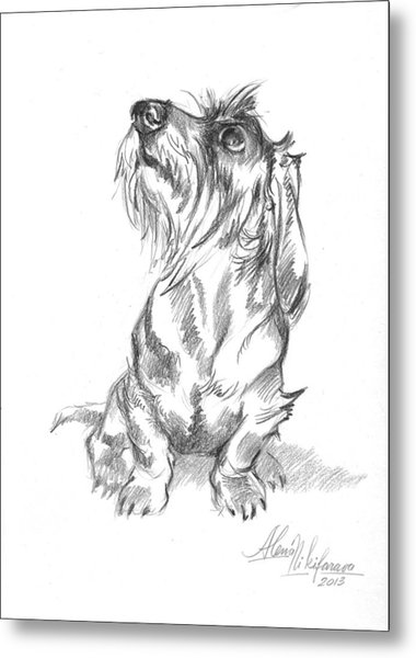 Young Wire-haired Dachshund Looking Up Metal Print
