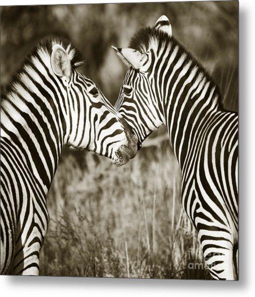 Zebra Affection Metal Print