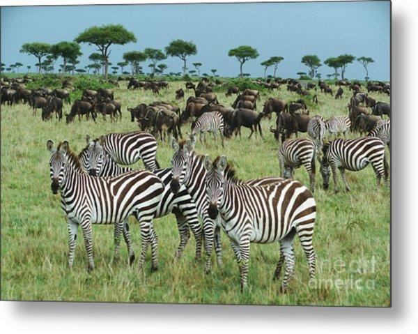 Zebra And Wildebeest Grazing Masai Mara Metal Print