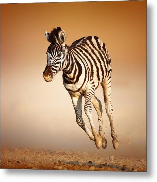 Zebra Calf Running Metal Print
