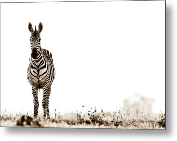 Zebra Facing Forward Washed Out Sky Bw Metal Print