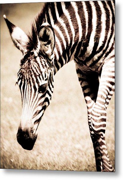 Zebra Foal Sepia Tones Metal Print