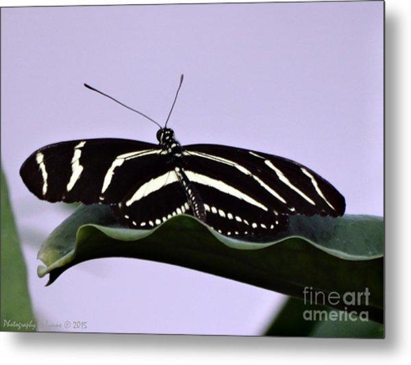 Zebra Longwing Butterfly Metal Print