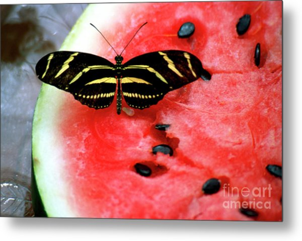 Zebra Longwing Butterfly On Watermelon Slice Metal Print
