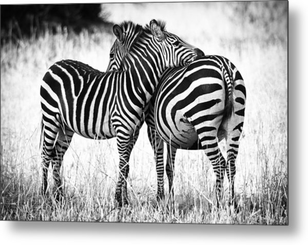 Zebra Love Metal Print