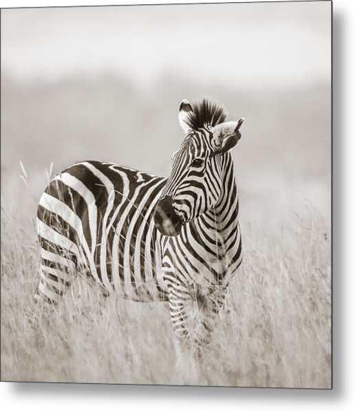 Zebra Masai Mara Kenya Metal Print