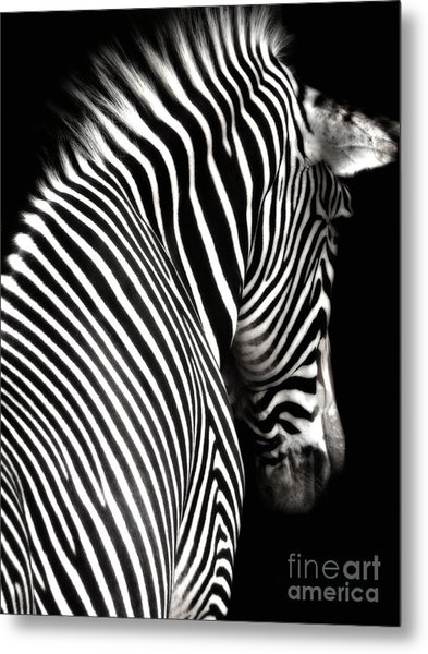 Zebra On Black Metal Print
