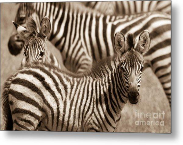 Zebra Stripes Galore Metal Print