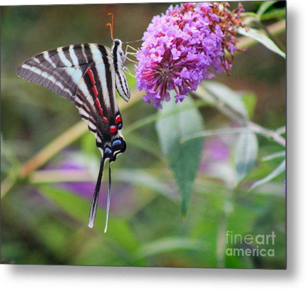Zebra Swallowtail Butterfly On Butterfly Bush  Metal Print