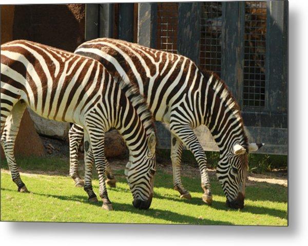 Zebra Metal Print by Tinjoe Mbugus