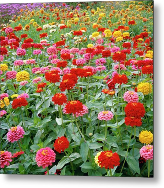 Zinnia Ruffles. Metal Print by Anthony Cooper/science Photo Library