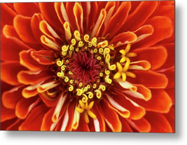 Zinnia (zinnia 'dreamland Coral') Metal Print by Jane Sugarman/science Photo Library