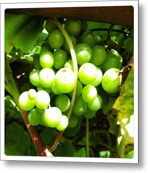 # #iphoneography #lux #grapes #mygarden Metal Print