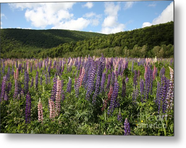 A Field Of Lupins Metal Print