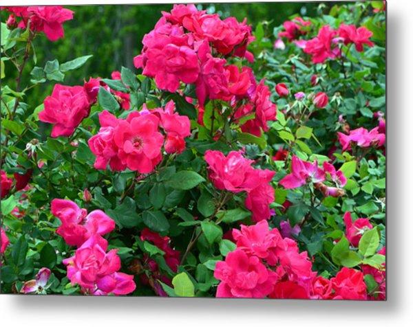A Rose Is A Rose.... Metal Print by Tanya Tanski