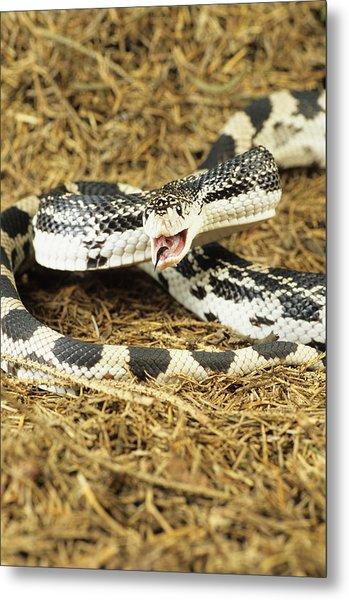 American Pine Snake by David Aubrey