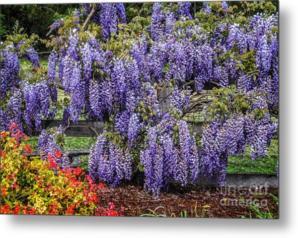 Beautiful Wisteria Metal Print