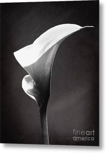 Calla Lily The Magnificent Beauty Metal Print