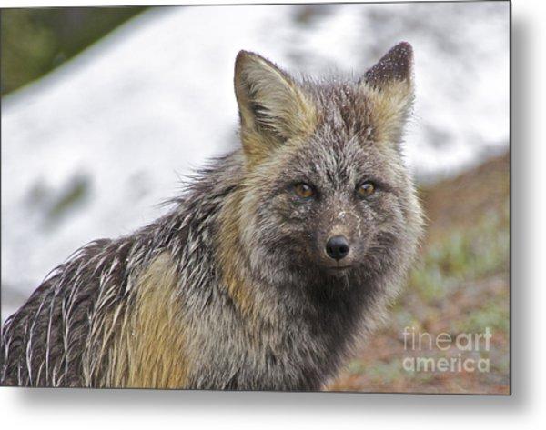 Cascade Red Fox Metal Print