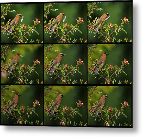 Cedar Wax Wing Having Lunch Metal Print