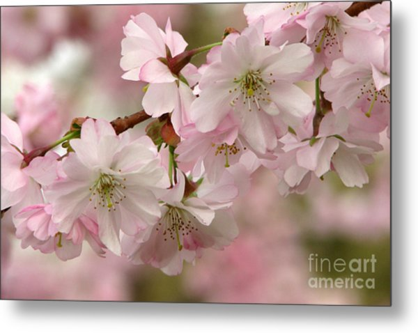 Cherry Blossoms Metal Print by Frank Townsley