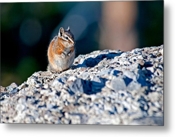 Chipmunk Metal Print by Elijah Weber