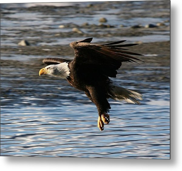 Coming In For The Landing Metal Print by Carrie OBrien Sibley