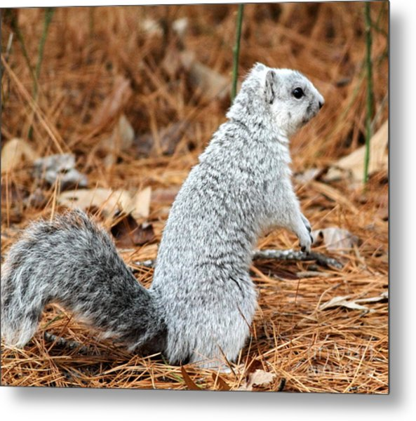 Delmarva Fox Squirrel Metal Print