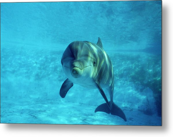Dolphin In Captivity Metal Print by Alexis Rosenfeld