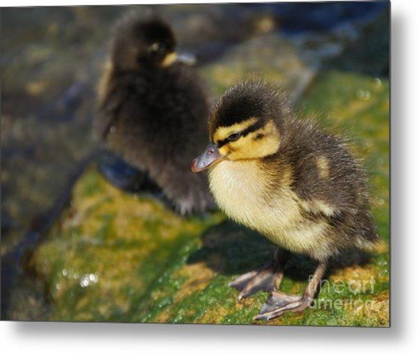 Ducklings Metal Print by Alan Clifford