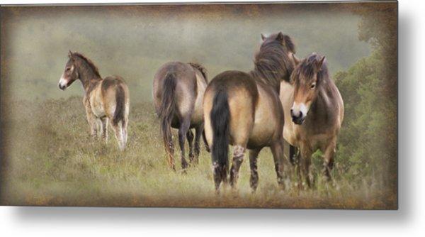 Exmoor Ponies Metal Print