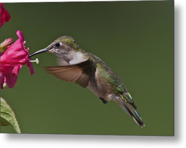 Female Ruby-throated Metal Print