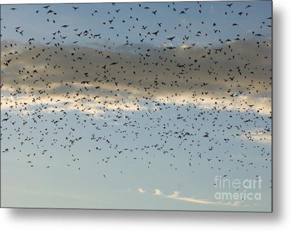 Flock Of Cowbirds Molothrus Ater Metal Print
